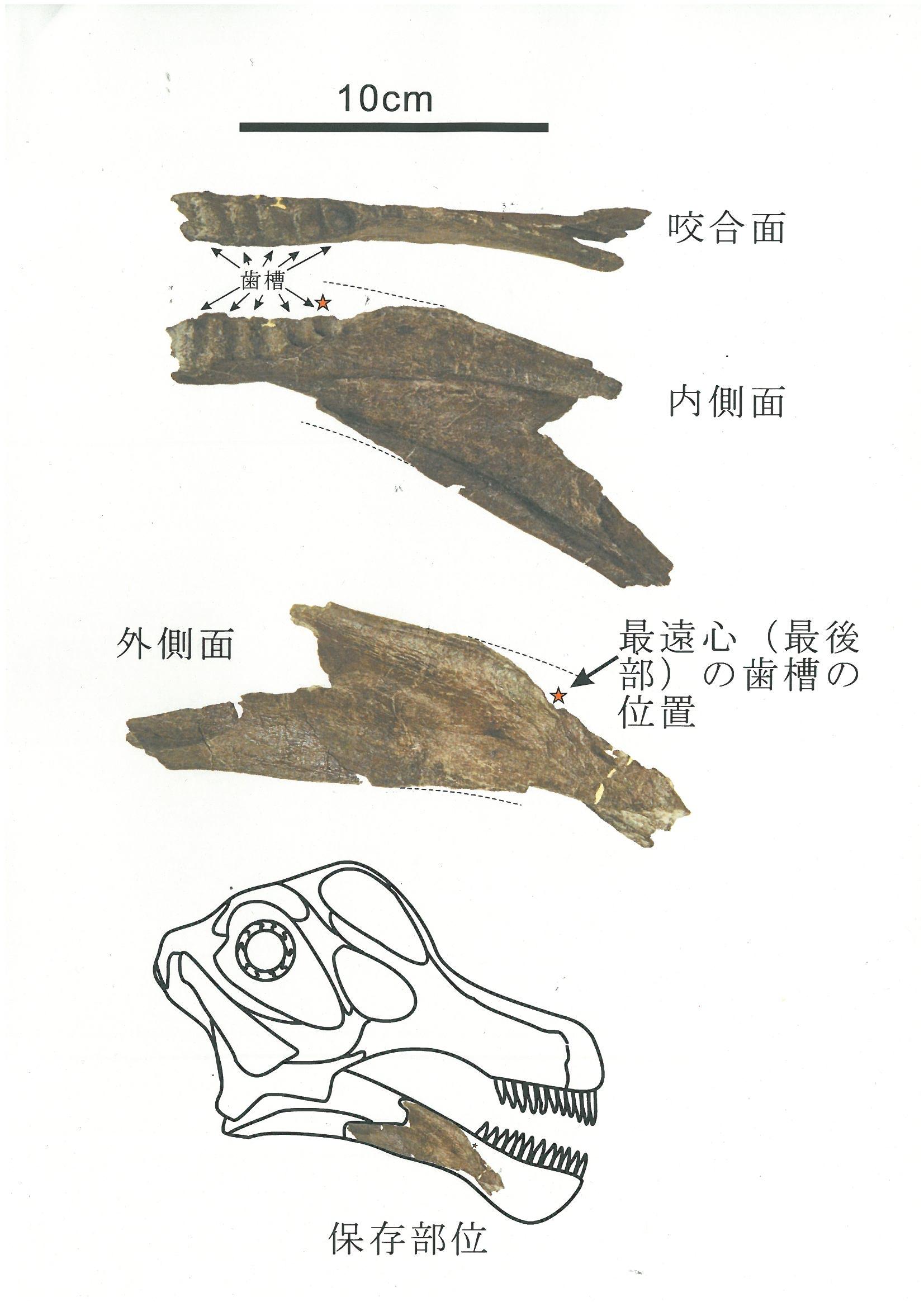 丹波竜の下顎の化石発見!