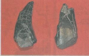 大型恐竜の歯の化石