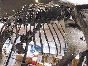 丹波竜全身骨格標本(胴)